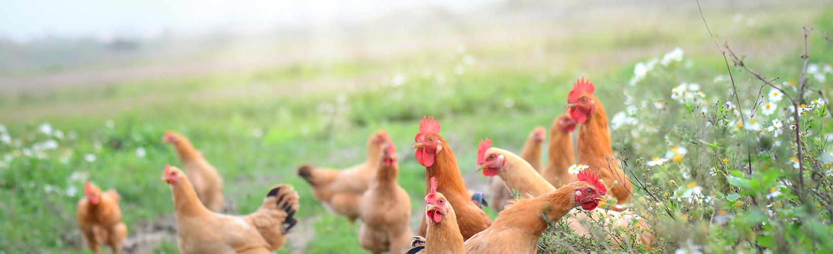 Bioseguridad gallinas